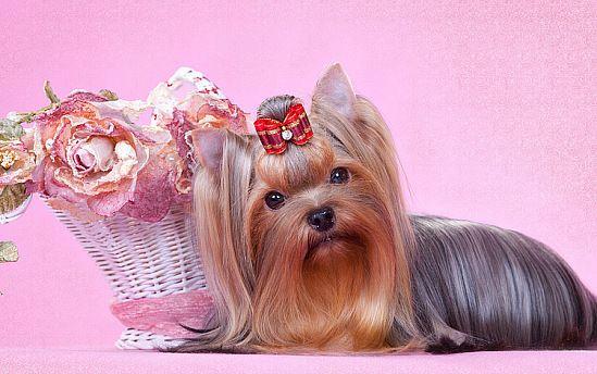 Бантики для собак в СПб